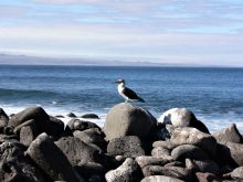 Blue Footed Booby on North Seymour Island