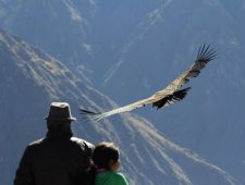 Condor in the Colca Canyon