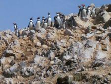 Humbolt Penguins in the Ballestas Islands