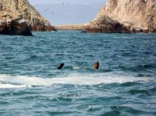 Sea lion teaches her pup to swim in the Ballestas Islands