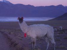 Llama at dawn in Avaroa NP