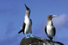 Blue Footed Boobies in the Galapagos by Pete Oxford