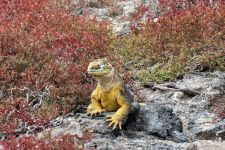 Iguana on South Plaza Island