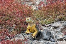 Iguana on South Plaza Island